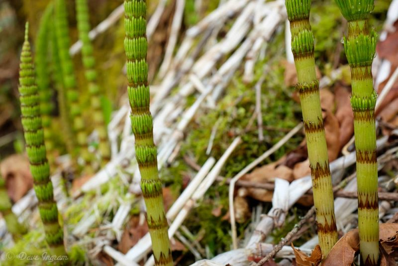 Common Horsetail (Equisetum arvense)