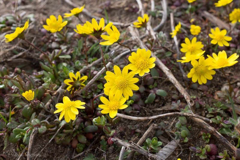 Common Spring-gold (Crocidium multicaule)