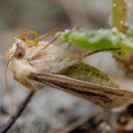 Sand-verbena Moth (Copablepharon fuscum)