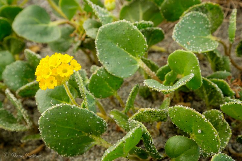Yellow Sand-verbena (Abronia latifolia)