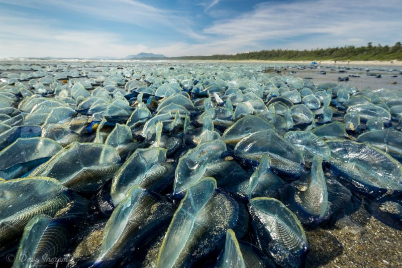 Velella velella at Wickaninnish Beach