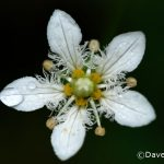 Fringed Grass-of-Parnassus (Parnassia fimbriata)