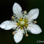 Fringed Grass-of-Parnassus (Parnassia fimbriata)
