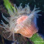 Proliferating anemone (Epiactris prolifera)