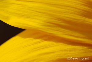 Sunflower Petals 2