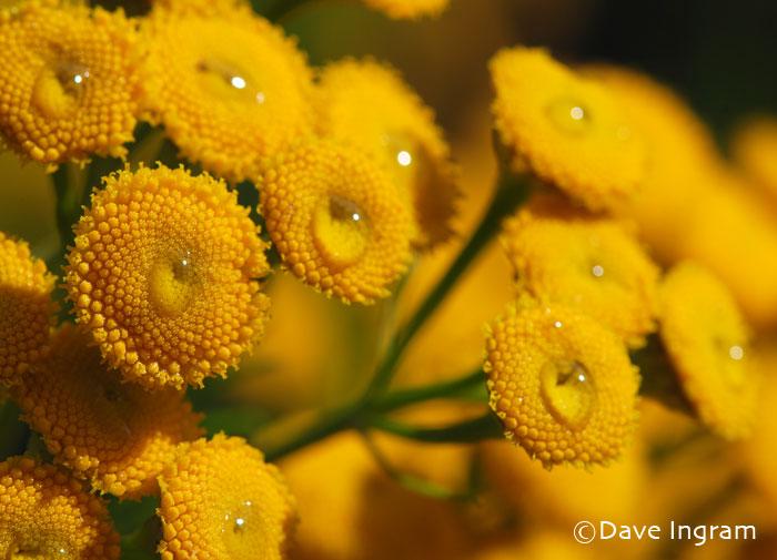 Common Tansy | Tanacetum vulgare