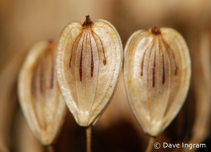 Cow Parsnip | Heracleum lanatum