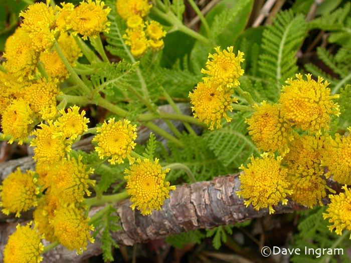 Dune Tansy | Tanacetum bipinnatum ssp. huronense