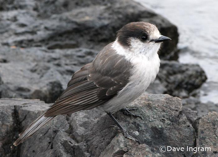 Gray Jay | Perisoreus canadensis