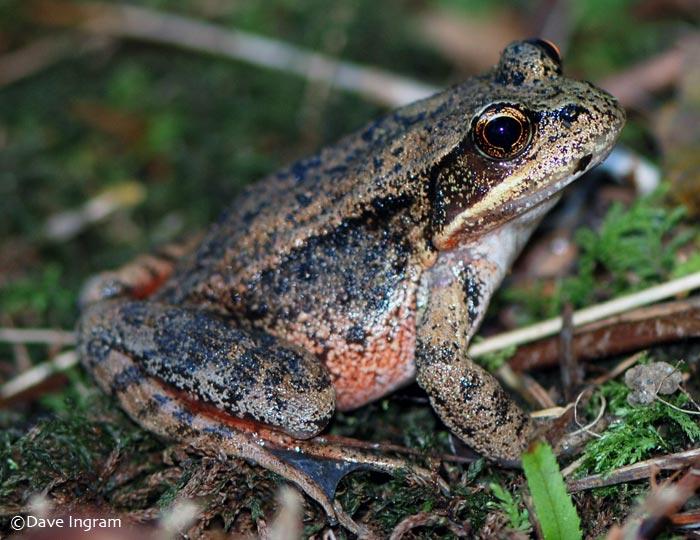 Red-legged Frog   Rana aurora