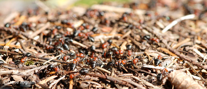 Thatching Ants | Formica spp.