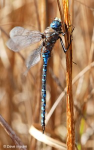 Variable Darner | Aeshna interrupta