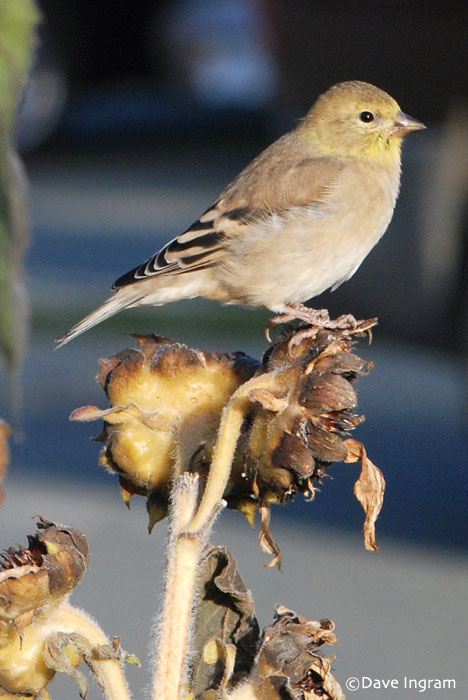 American Goldfinch | Carduelis tristis