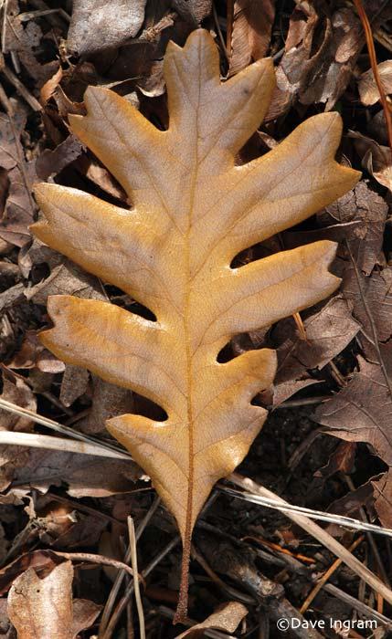 Garry Oak | Quercus garryana