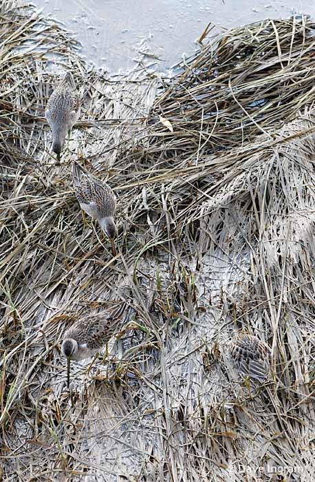 Long-billed Dowitcher | Limnodromus scolopaceus