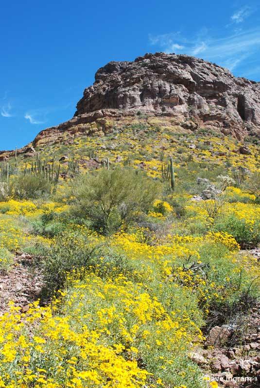 Brittlebush, Organ Pipe Cactus National Monument, Arizona