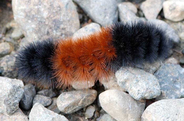 Banded Woolly Bear | Pyrrharctia isabella