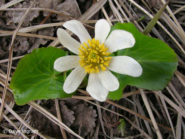 Alpine White Marsh-Marigold