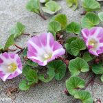 Beach Bindweed