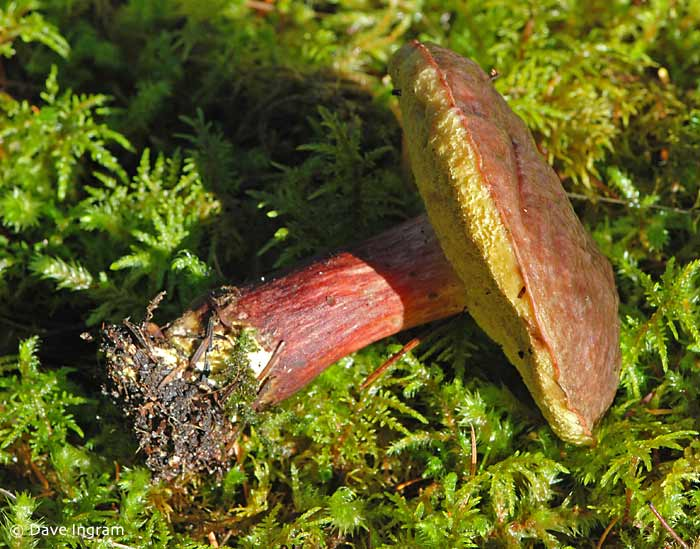 Zeller's Boletus | Boletus zelleri showing the red stem of this species.
