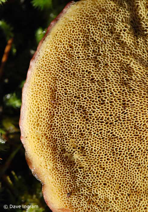 Zeller's Boletus | Boletus zelleri showing the distinctive pores that characterize boletes.