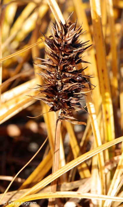 Large-headed Sedge | Carex macrocephala showing the spiky head from which it get's its name and that is such a concern for sun bathers.