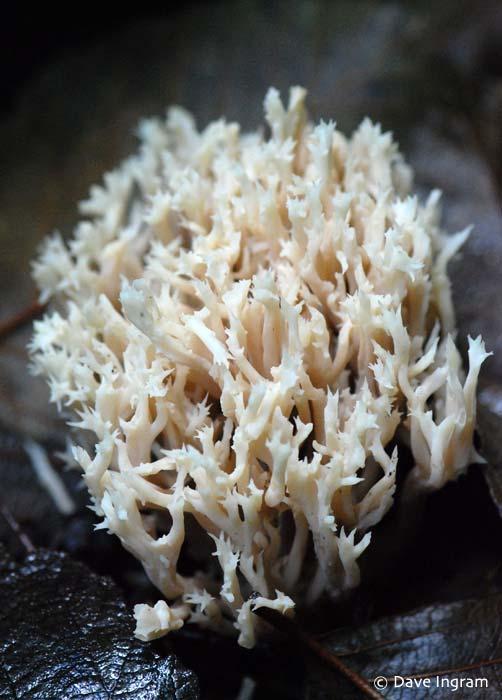 Crested Coral | Clavulina cristata
