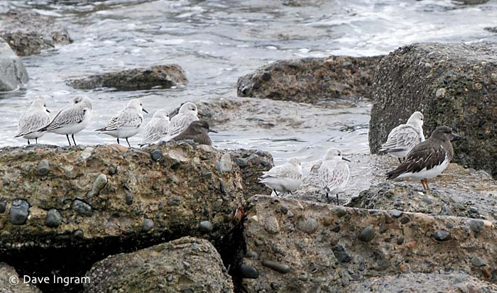 A group of Sanderling and Black Turnstones at Air Force Beach in Comox, BC.