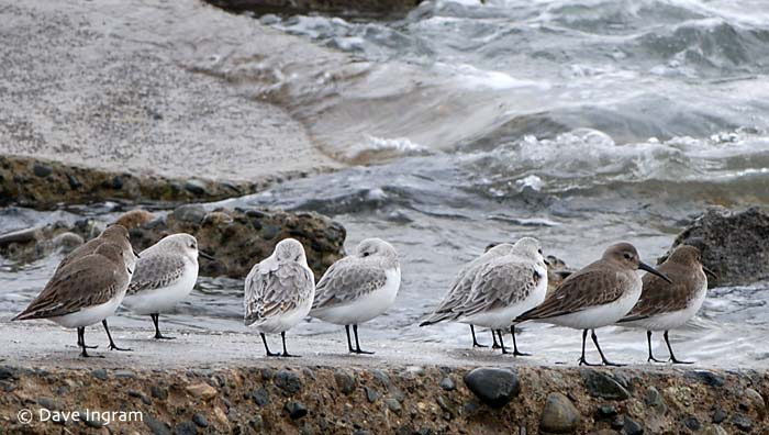 A group of Sanderlings and Dunlins on the rocky shore at Air Force Beach.