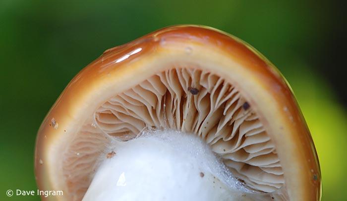 Unknown Mushroom - this mushroom was extremely viscid (slimy).