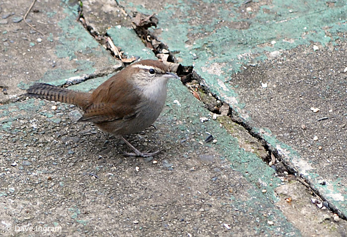 Bewick's Wren (Thryomanes bewickii) on the ground feeding on seeds (pre-snowfall)