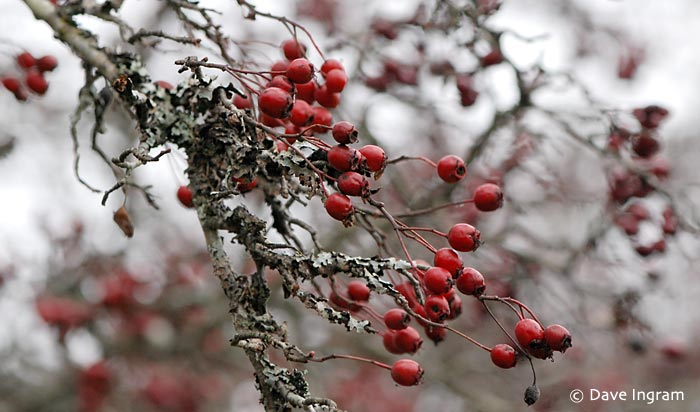 Common Hawthorn (Crataegus monogyna) Berries