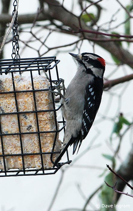 One of the regulars, a male Downy Woodpecker, visits the suet feeder.