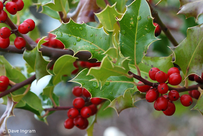 English Holly (Ilex aquifolium) - berries and evergreen leaves make for a striking holiday display.