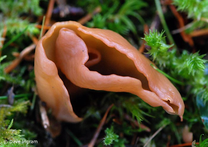 Brown Clustered Ear Cup (Otidea alutacea)