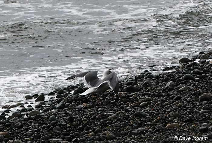 Gull Photograph #3