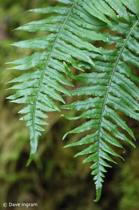 Licorice Fern (Polypodium glycyrrhiza)