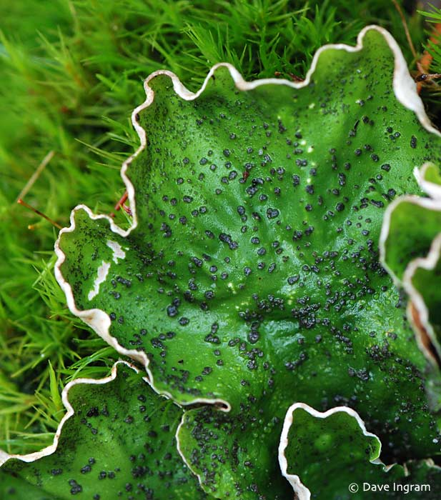 Freckle Pelt (Peltigera sp.)