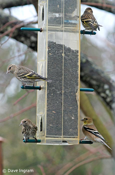 Pine Siskins and American Goldfinch
