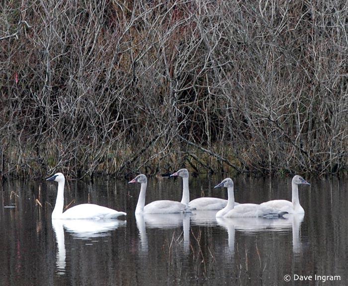 Trumpeter Swans (Cygnus buccinator)