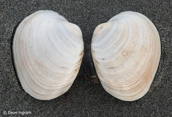 Butter Clam (Saxidomus gigantea)