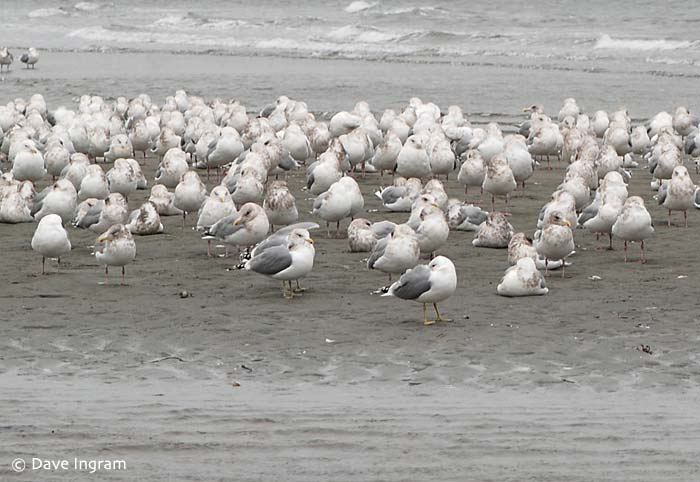 Thayer's and California Gulls