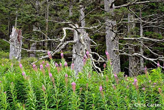 Fireweed and Sitka Spruce