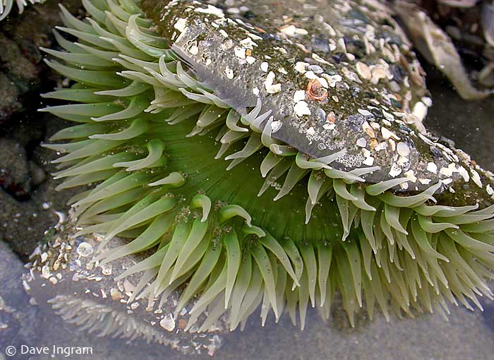 Green Surf Anemone (Anthopleura xanthoogrammica)