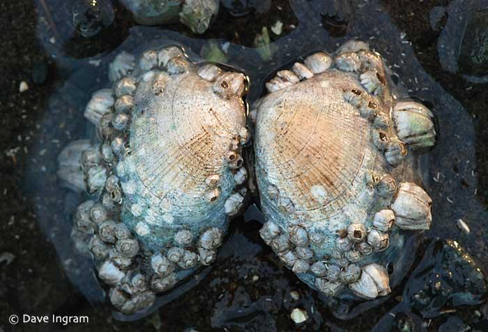 Japanese Littleneck Clam (Venerupis phillippinarum)