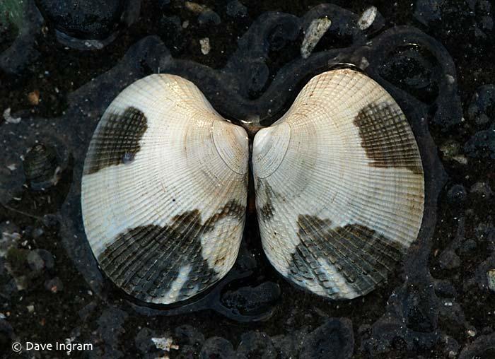 Japanese Littleneck (Venerupis philippinarum)