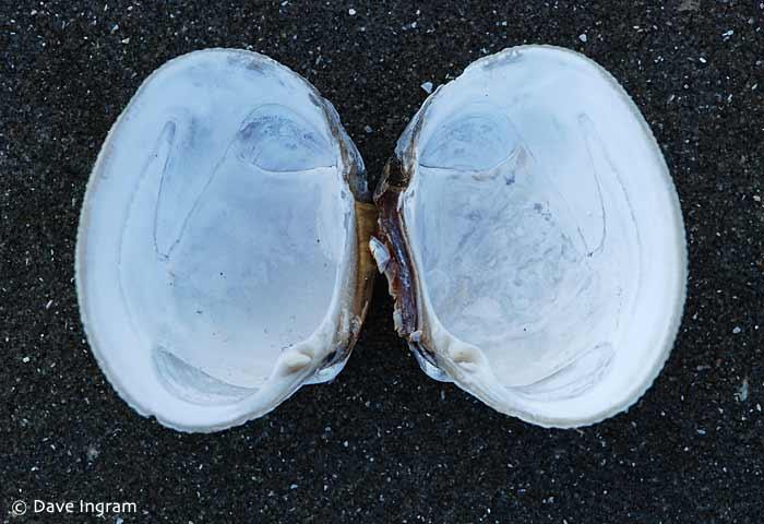 Pacific Littleneck (Protothaca staminea)