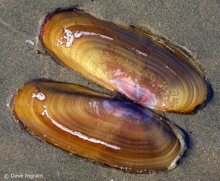 Pacific Razor-clam (Silqua patula)