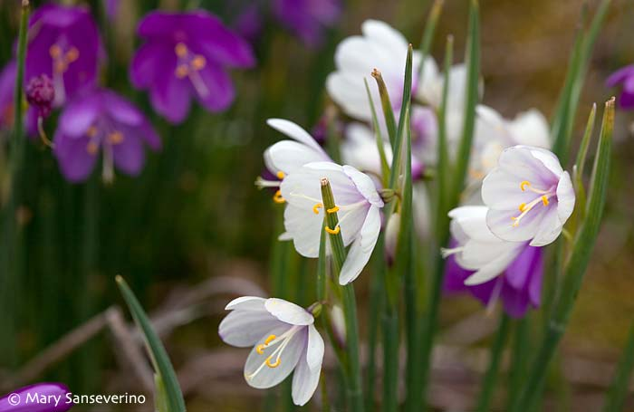 Satinflower (Olsynium douglasii)