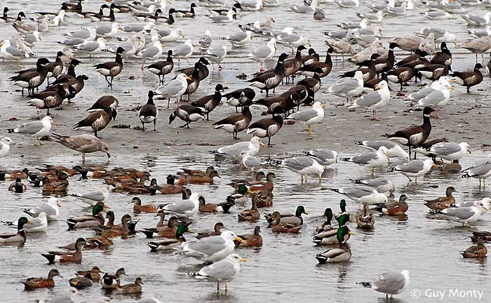Brant, Gulls, and Ducks